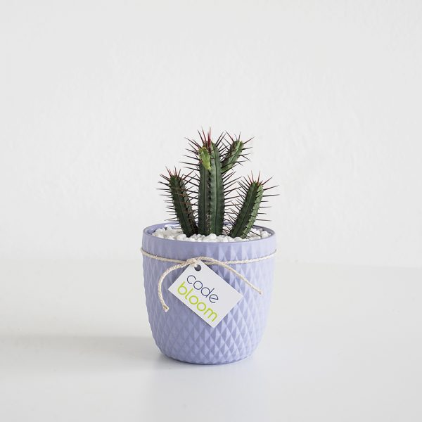Cactus or Succulent in Milly & Eugene Vase