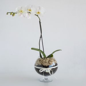Phalaenopsis Orchid in Glass Footed Vase