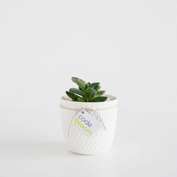 Cactus or Succulent in Milly & Eugene Vase 2