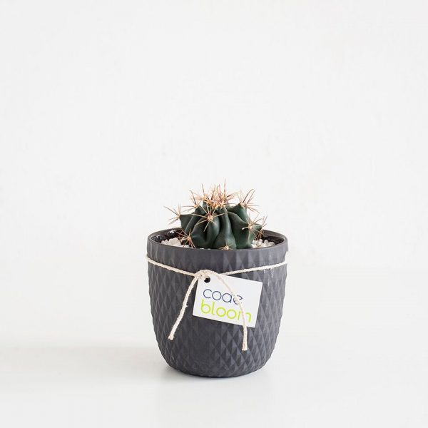 Cactus or Succulent Vase in Milly & Eugene 3