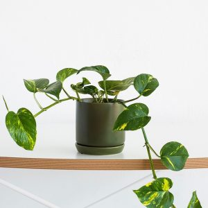 popular greenery plant - devil's ivy potted into a trendy avocado planter
