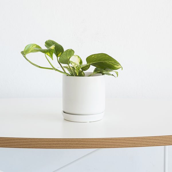 popular greenery plant - devil's ivy potted into a trendy white planter