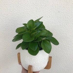 Potted Peperomia - a great indoor plant gift