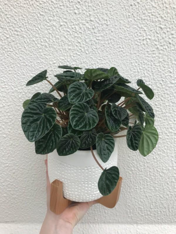 peperomia wrinkled leaves