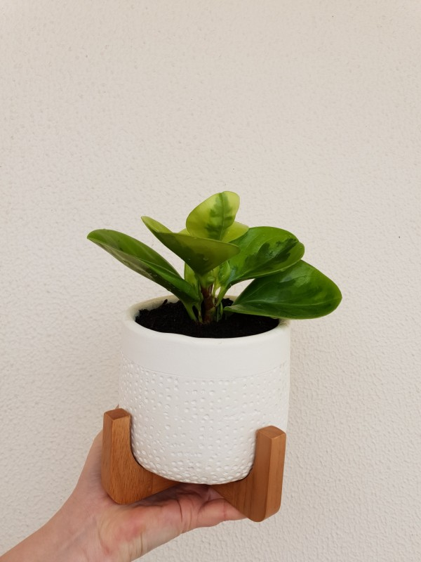 lemon lime peperomia