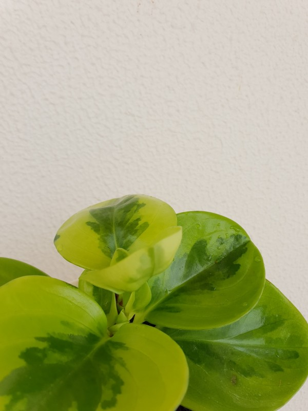 lemon lime peperomia up close