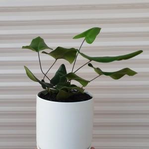 heart leaf fern