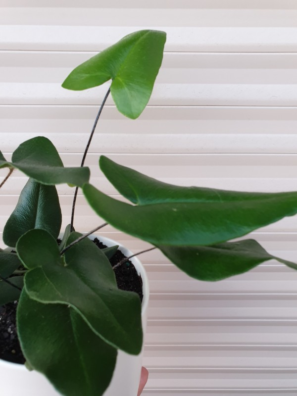 heart leaf fern close up