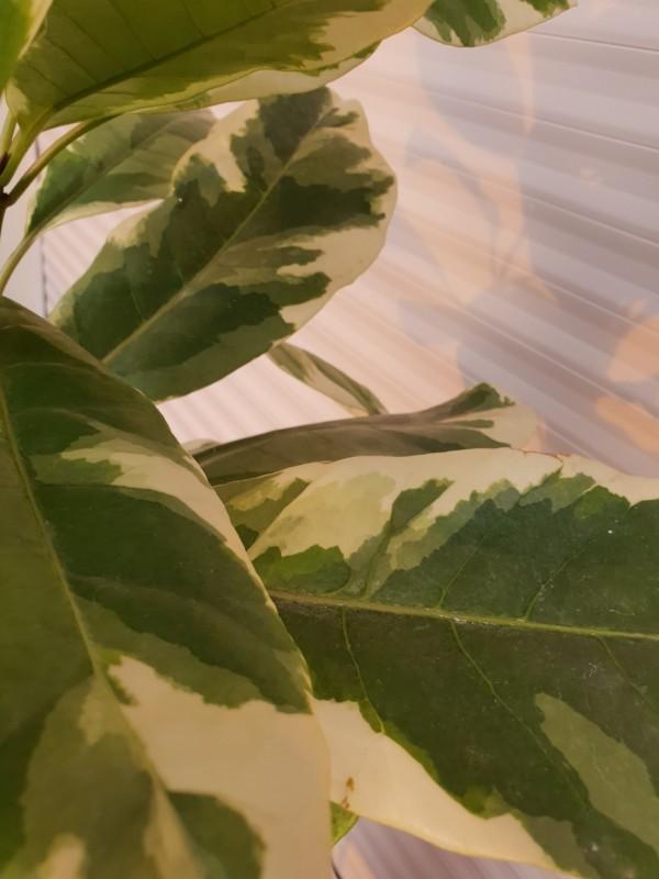 pisonia leaves